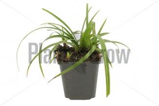 Carex foliosissima 'Irish Green' | Zegge (pot 9x9cm) - VOORJAAR