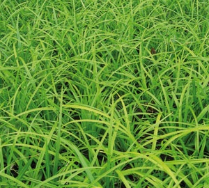 Carex foliosissima 'Irish Green' Zegge