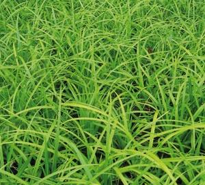 Carex foliosissima 'Irish Green' Zegge