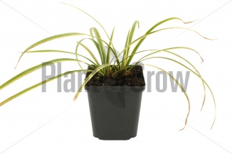 Carex morrowii 'Goldband' | Japanse zegge (pot 9x9cm)