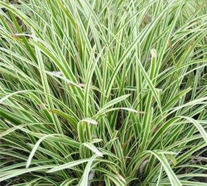Carex morrowii 'Goldband' Japanse zegge