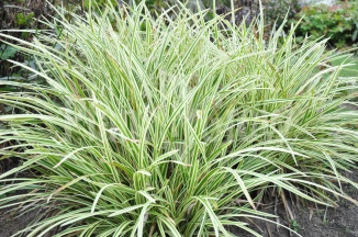 Carex morrowii 'Goldband' | Japanse zegge