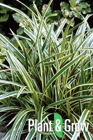 Carex morrowii 'Ice Dance' | Zegge
