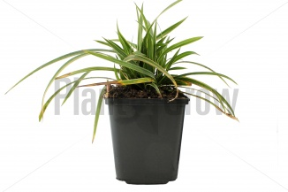 Carex morrowii 'Ice Dance' | Zegge (pot 9x9cm)