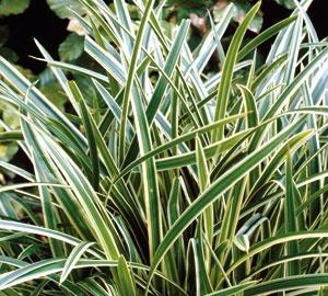 Carex morrowii 'Ice Dance' Zegge