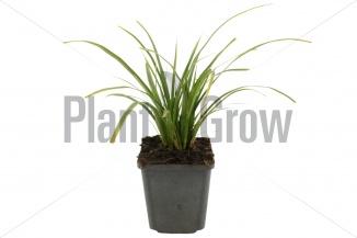 Carex morrowii 'Variegata' | Zegge (pot 9x9cm)