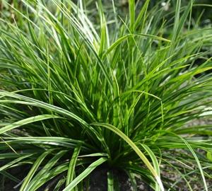 Carex morrowii 'Variegata' Zegge
