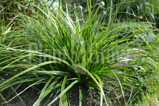 Carex morrowii 'Variegata' | Zegge