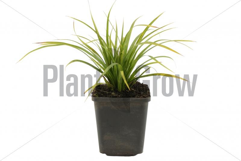 Carex morrowii | Zegge (pot 9x9cm) - VOORJAAR