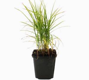 Carex muskingumensis Palmzegge