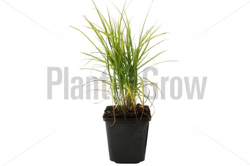 Carex muskingumensis | Palmzegge (pot 9x9cm) - ZOMER
