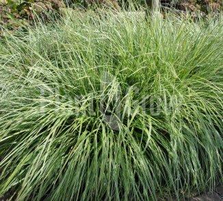 Carex ornithopoda 'Silver Sceptre' Bonte zegge