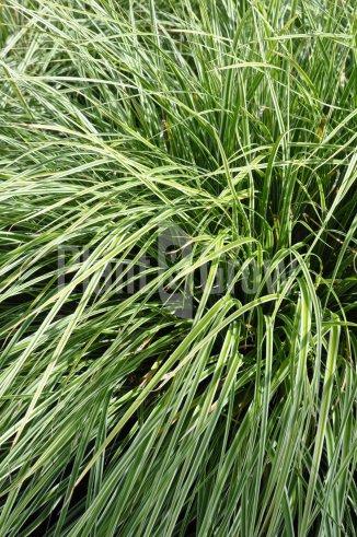 Carex ornithopoda 'Silver Sceptre' | Bonte zegge