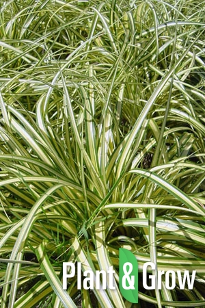 Carex ornithopoda 'Variegata' | Zegge