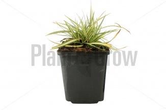Carex ornithopoda 'Variegata' | Zegge (pot 9x9cm) - VOORJAAR