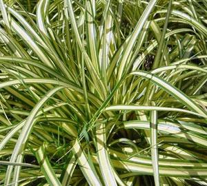 Carex ornithopoda 'Variegata' Zegge