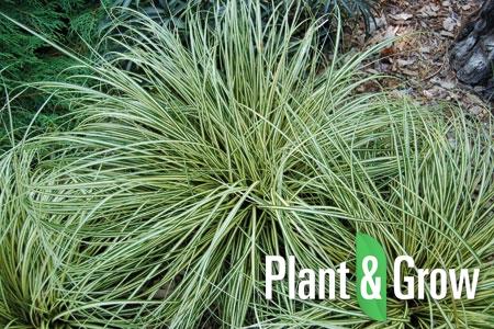 Carex oshimensis 'Evergold' | Zegge