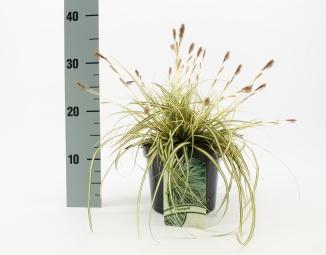 Carex oshimensis 'Evergold' | Zegge (Ø 17cm pot)