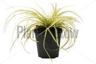 Carex oshimensis 'Evergold' | Zegge (pot 9x9cm)