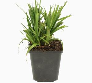 Carex pendula Hangende zegge