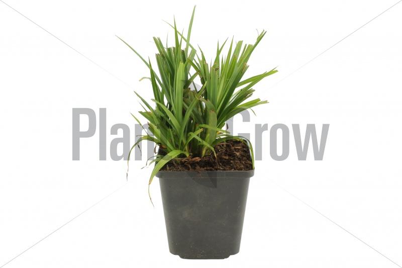 Carex pendula | Hangende zegge (pot 9x9cm) - NAJAAR