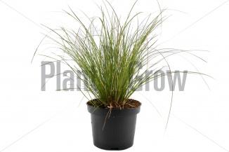 Carex testacea 'Prairie Fire' | Zegge (Ø 17cm pot)