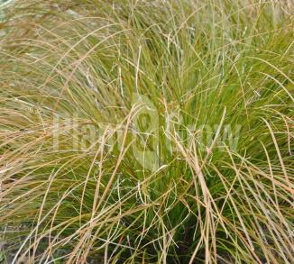 Carex testacea 'Prairie Fire' Oranjezegge