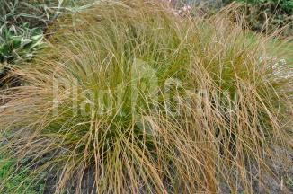 Carex testacea 'Prairie Fire' | Zegge