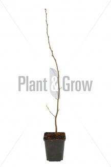 Carpinus betulus | Haagbeuk (pot 9x9cm) - winterbeeld