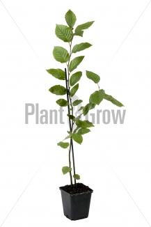 Carpinus betulus | Haagbeuk (pot 9x9cm) - zomerbeeld