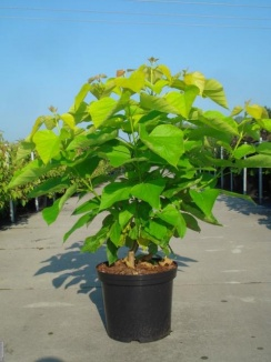 Catalpa bignonioides 'Aurea'   Trompetboom (12L pot)