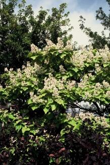 Catalpa bignonioides 'Aurea'   Trompetboom