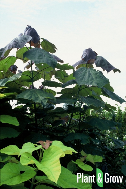 Catalpa erubescens 'Purpurea' | Trompetboom