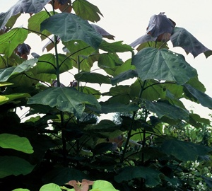 Catalpa erubescens 'Purpurea' Trompetboom