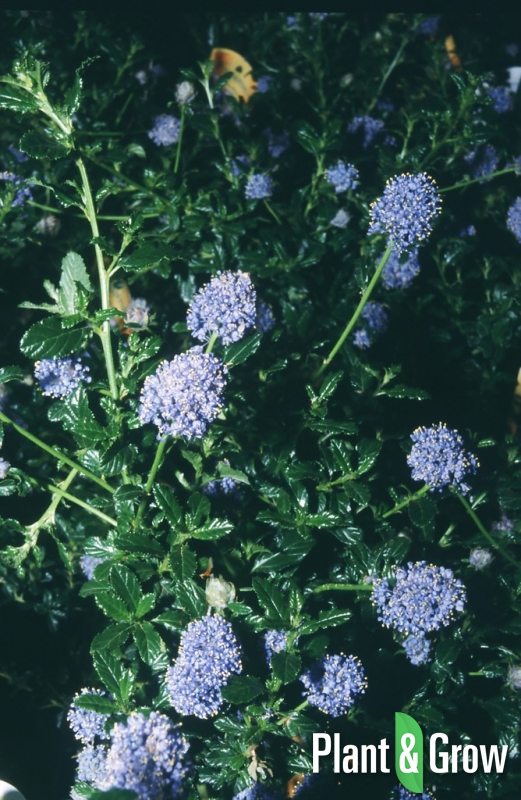 ceanothus 39 blue mound 39 kopen plant grow. Black Bedroom Furniture Sets. Home Design Ideas