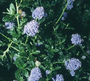 Ceanothus 'Blue Mound'  Amerikaanse sering