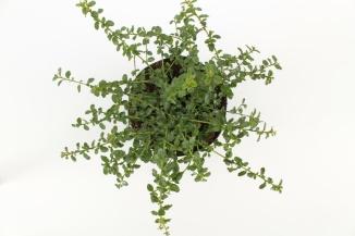 Ceanothus thyrsiflorus 'Repens' | Kruipende herfstsering (Ø 17cm pot)