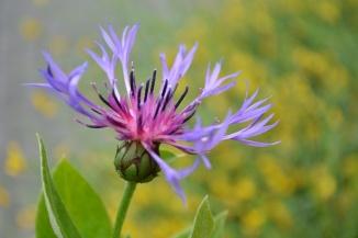Centaurea montana | Bergkorenbloem