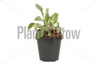 Centaurea montana | Bergkorenbloem (pot 9x9cm) - VOORJAAR