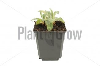 Centaurea montana 'Coerulea' | Korenbloem (pot 9x9cm) - VOORJAAR