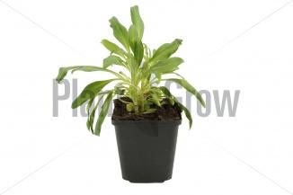 Centranthus ruber 'Albus' | Witte spoorbloem (pot 9x9cm) - VOORJAAR