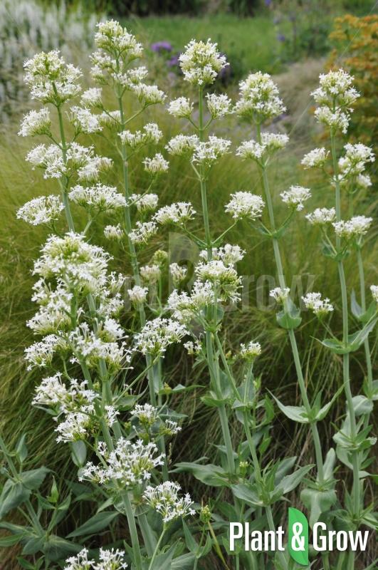 Centranthus ruber 'Albus' | Witte spoorbloem