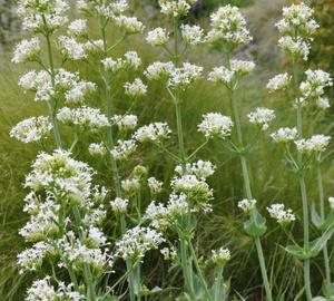 Centranthus ruber 'Albus' Witte spoorbloem