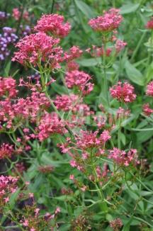 Centranthus ruber 'Coccineus' | Spoorbloem