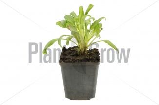 Centranthus ruber 'Coccineus' | Spoorbloem (pot 9x9cm)