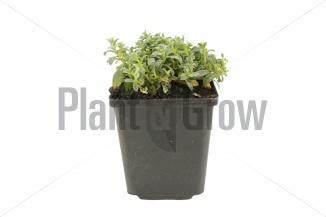 Cerastium tomentosum | Viltige hoornbloem (pot 9x9cm) - VOORJAAR