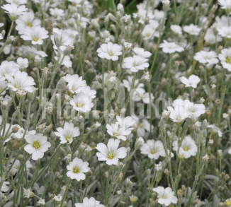 Cerastium tomentosum Viltige hoornbloem