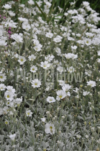 Cerastium tomentosum | Viltige hoornbloem