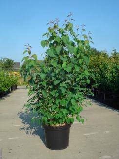 Cercidiphyllum japonicum | Katsuraboom (12L pot)