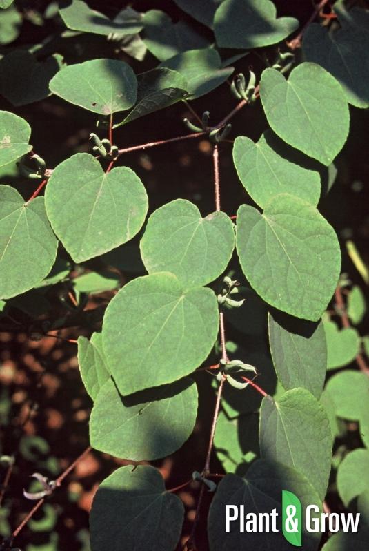 Cercidiphyllum japonicum | Katsuraboom